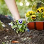 Hands planting spring flowers into the soil